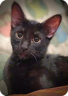 Domestic Shorthair Kitten for adoption in Wichita, Kansas - Patches
