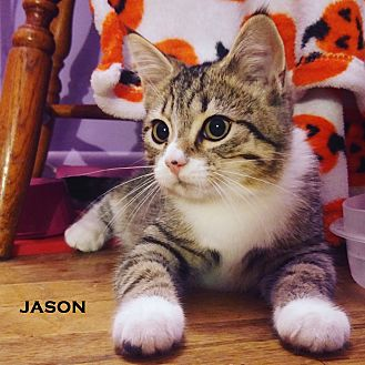 Domestic Shorthair Cat for adoption in Speedway, Indiana - Jason