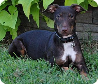 Miniature Pinscher/Manchester Terrier Mix Puppy for adoption in Cedartown, Georgia - Delilah