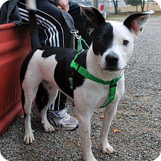 Pit Bull Terrier Mix Dog for adoption in Hayden, Idaho - Chloe