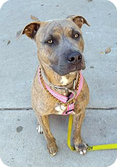 Terrier (Unknown Type, Medium) Mix Dog for adoption in Detroit, Michigan - Sexi-Adopted!