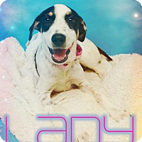 Cattle Dog Mix Dog for adoption in Odessa, Texas - Lady