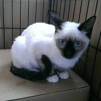 Snowshoe Cat for adoption in Calimesa, California - Delilah