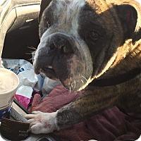 English Bulldog Dog for adoption in Columbus, Ohio - Roscoe