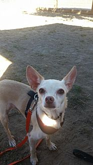 Chihuahua Dog for adoption in Petaluma, California - Hutch