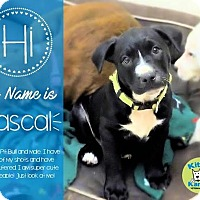 Adopt A Pet :: Rascal- in Ct - Manchester, CT