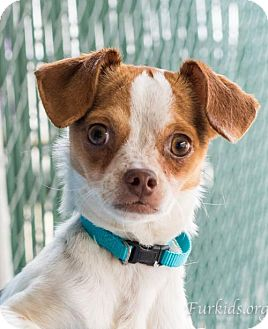 Chihuahua Mix Dog for adoption in Atlanta, Georgia - Abby Welah