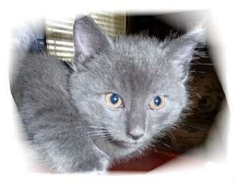 Domestic Shorthair Kitten for adoption in Montgomery, Illinois - Kismet