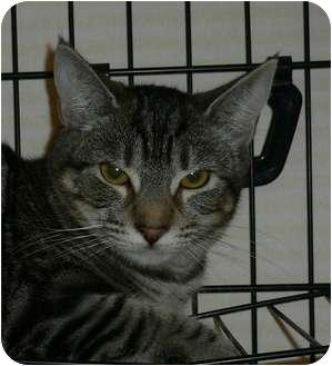 Domestic Shorthair Kitten for adoption in lake elsinore, California - Petunia