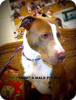 Pit Bull Terrier Dog for adoption in Gadsden, Alabama - Thor