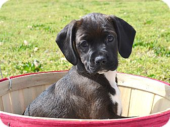 Boston Terrier/Labrador Retriever Mix Puppy for adoption in Westport, Connecticut - *Hershey - PENDING
