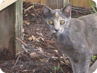 Domestic Shorthair Cat for adoption in Orlando-Kissimmee, Florida - Callie