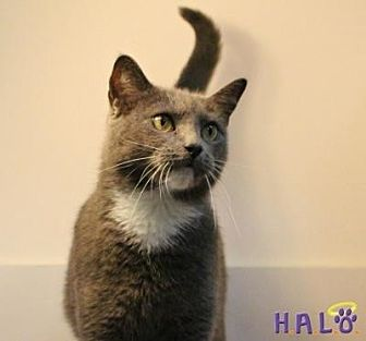 Domestic Shorthair Cat for adoption in Sebastian, Florida - Greyson