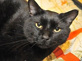 Domestic Shorthair Cat for adoption in Garland, Texas - Kathy