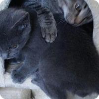 Adopt A Pet :: Baby Blue - Scottsdale, AZ