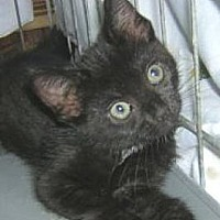 Adopt A Pet :: Moonlight - Miami, FL