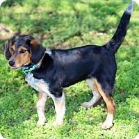 Adopt A Pet :: PUPPY FIESTA - richmond, VA
