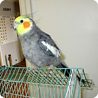 Cockatiel for adoption in Fayetteville, Tennessee - 17-O5-003 Crispy
