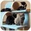 Photo 1 - American Shorthair Kitten for adoption in Alexandria, Virginia - James, Princess...