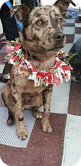 Catahoula Leopard Dog Mix Dog for adoption in Phoenix, Arizona - Booker
