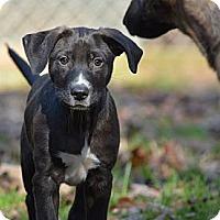 Adopt A Pet :: Grady - New Boston, NH