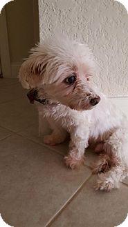 Maltese Dog for adoption in Atlanta, Georgia - Maxx (FL)