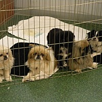 Pekingese/Japanese Chin Mix Dog for adoption in Inver Grove, Minnesota - Fosters Needed!