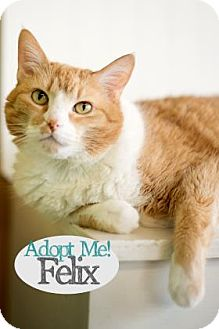 Domestic Shorthair Cat for adoption in West Des Moines, Iowa - Felix
