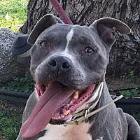 Adopt A Pet :: Luke - Blue-Nose - Canoga Park, CA