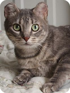 Domestic Shorthair Cat for adoption in Savannah, Missouri - Tiffany