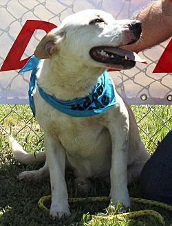 Labrador Retriever Mix Dog for adoption in Grayson, Louisiana - Boss