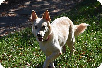 Labrador Retriever/Husky Mix Dog for adoption in Charlotte, North Carolina - Lady
