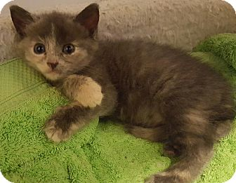 Calico Kitten for adoption in Irwin, Pennsylvania - Crystal