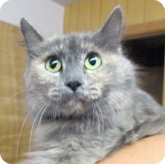 Domestic Longhair Cat for adoption in Reeds Spring, Missouri - Chanel
