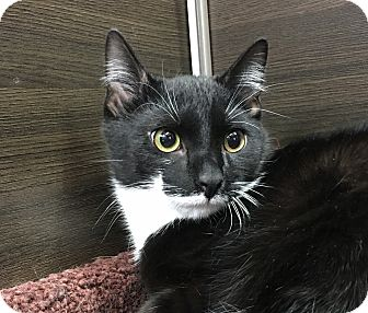 Domestic Shorthair Cat for adoption in Wayne, New Jersey - Bramwell