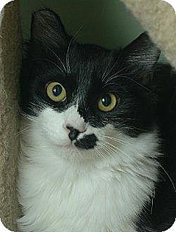 Domestic Mediumhair Cat for adoption in Auburn, California - Bartells