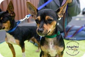Fox Terrier (Toy)/Rat Terrier Mix Puppy for adoption in Burbank, California - Sobe