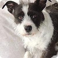 Adopt A Pet :: Daphne - La Habra Heights, CA