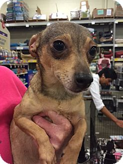 Dachshund/Smooth Fox Terrier Mix Dog for adoption in Fresno, California - Jeanette