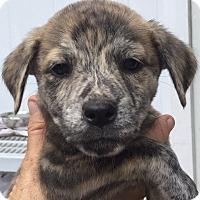Adopt A Pet :: Willis#4F - Orlando, FL