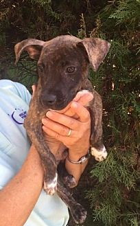 Pit Bull Terrier Mix Puppy for adoption in Cat Spring, Texas - Mars