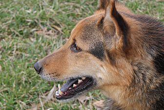 German Shepherd Dog/Chow Chow Mix Dog for adoption in Portland, Indiana - Gypsy