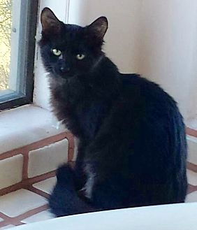 Domestic Mediumhair Cat for adoption in Tucson, Arizona - Pepper - with two white toes