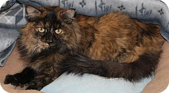 Domestic Longhair Cat for adoption in Prescott, Arizona - Suede