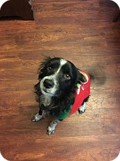 Papillon/Sheltie, Shetland Sheepdog Mix Dog for adoption in Pittsburgh, Pennsylvania - Doogie