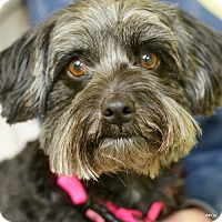 Lhasa Apso/Miniature Schnauzer Mix Dog for adoption in East Hartford, Connecticut - Annie