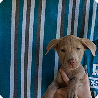 Adopt A Pet :: Calvin - Oviedo, FL