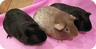 Guinea Pig for adoption in Steger, Illinois - Vivian
