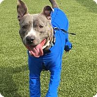 Adopt A Pet :: BRIXX - Okatie, SC
