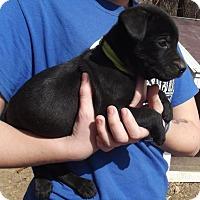 Adopt A Pet :: Nash - Lincoln, NE